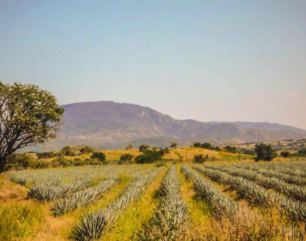 Campos de agave Guadalajara
